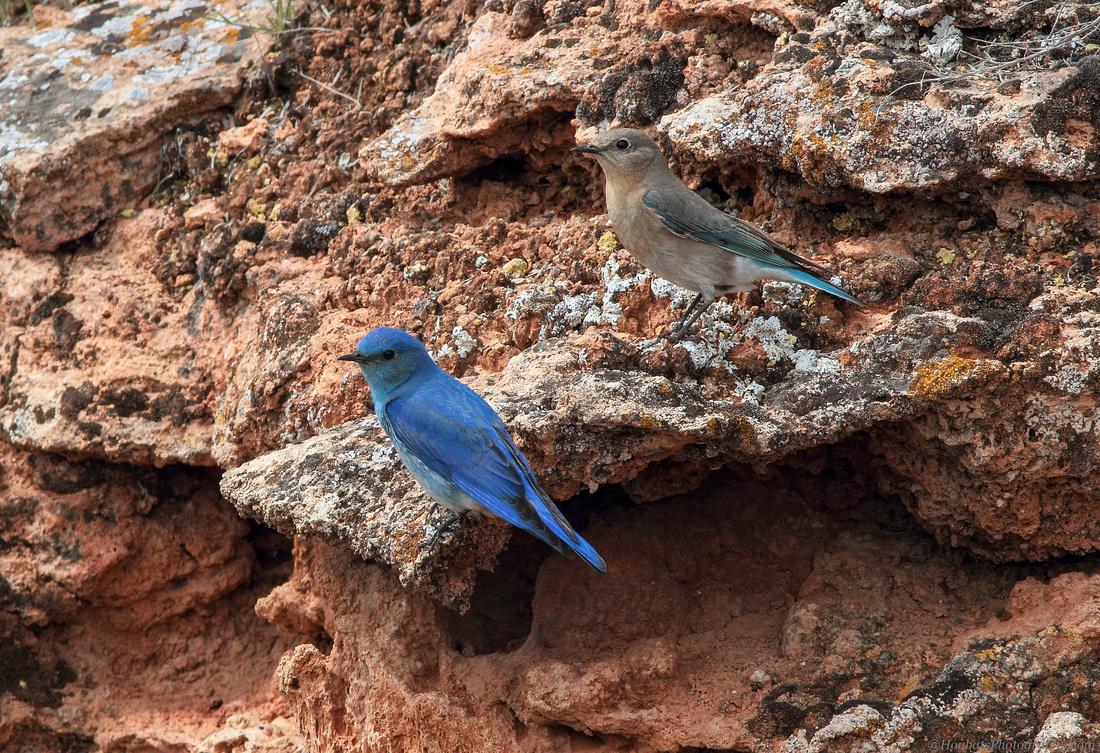 Mountain Bluebirds, Mating Pair - Wyoming