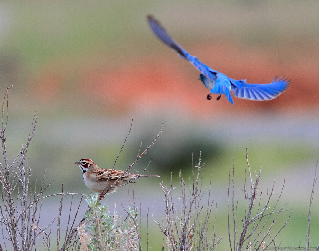 Mountain Bluebird chasing off a Lark Sparrow in Wyoming.