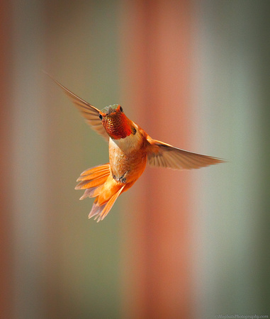 Rufous Hummingbird Photographed in-flight - Wind River Canyon, Wyoming