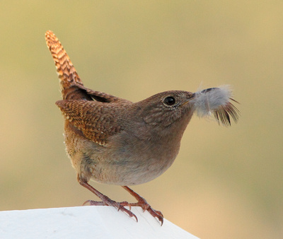 "House Wren, ""Building the Nest""-Wind River Canyon, Wyoming"