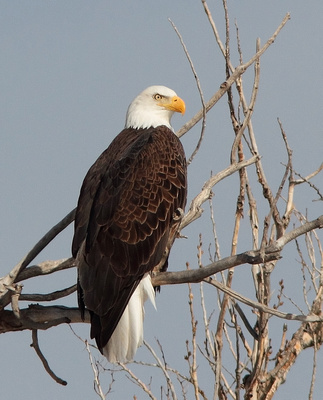 Bald Eagle, Wind River Canyon, Wyoming