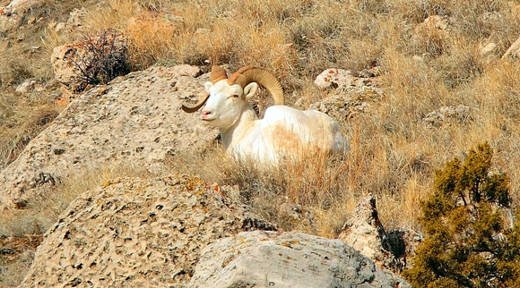 "Albino Bighorn Sheep, ""Snowflake's Close-Up"" - Wind River Canyon, Wyoming"
