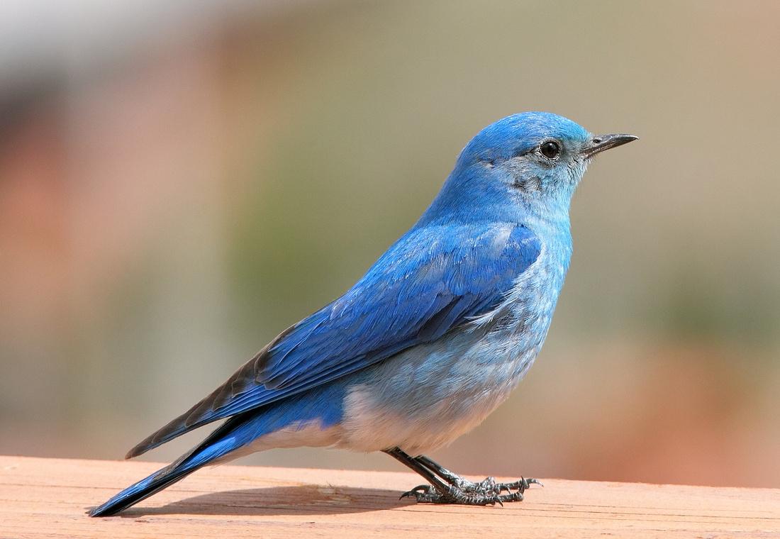 Mountain Bluebird Portrait, Wyoming