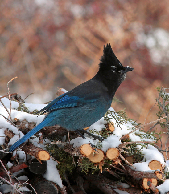 Steller's Jay-Wind River Canyon, Wyoming, photographed by Michael John Balog.
