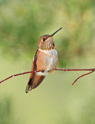 Baby Rufous Hummingbird, Wind River Canyon, WY - 2nd Place - 47th Cody Art Show