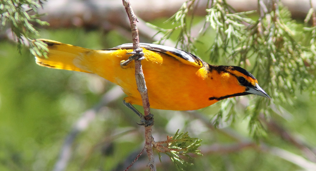 Bullock's Oriole-Wind River Canyon,Wyoming