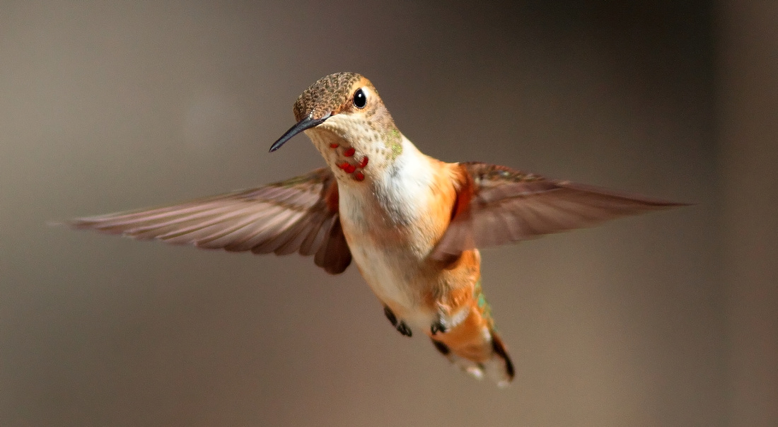"Rufous Hummingbird, ""female in flight"" Wind River Canyon, WY"