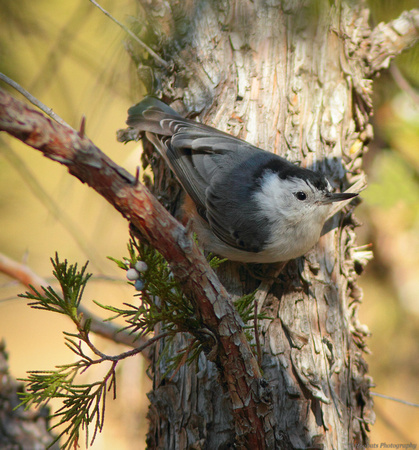 White-breasted Nuthatch, Wind River Canyon