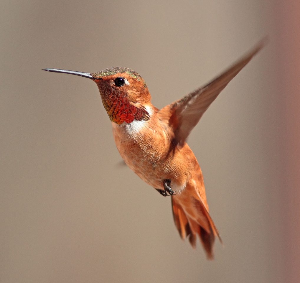 Rufous Hummingbird, Wind River Canyon,Wyoming  -  1st Place - 48th Cody Art Show