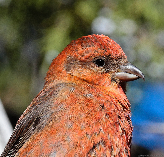Red Crossbill-Wind River Canyon, Wyoming
