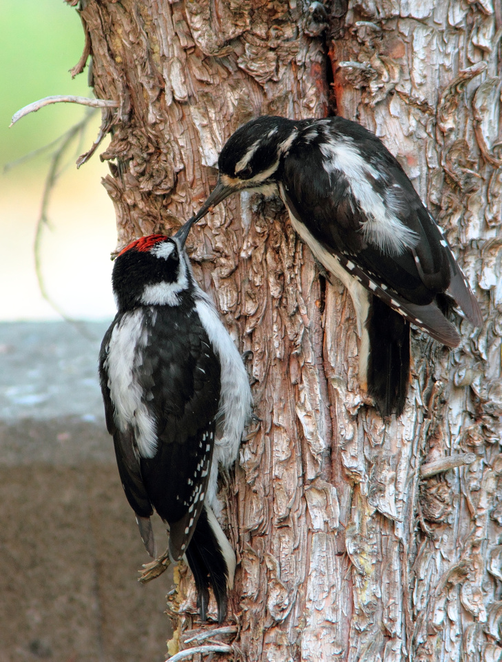 Hairy Woodpecker, Mother & Son in the Wind River Canyon,Wyoming