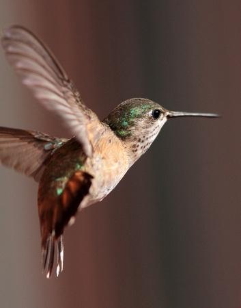 Calliope Hummingbird female, Wind River Canyon, Wyoming