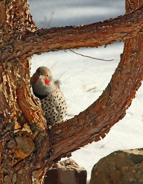 Northern Flicker, Red-Shafted - Wind River Canyon, Wyoming