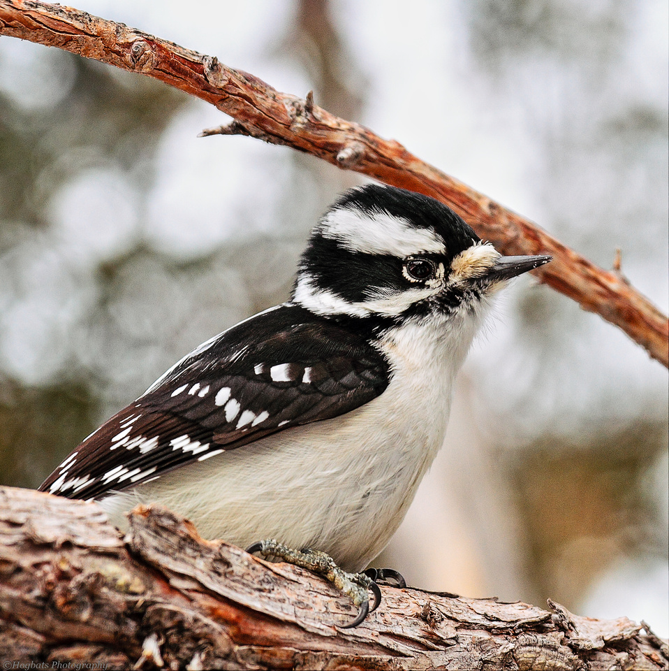 Downy Woodpecker_female, Wind River Canyon, Wyoming.