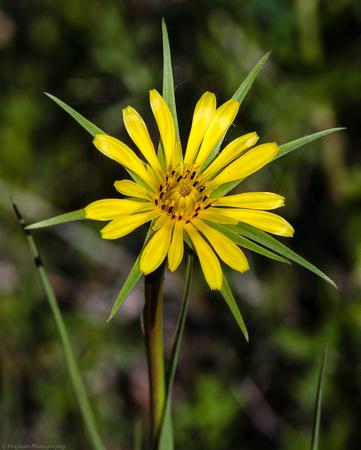 Wyoming Wildflower, Yellow Salsify