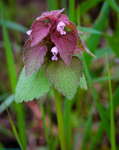 Wyoming Wildflowers, Red Dead-nettle, Wind River Canyon