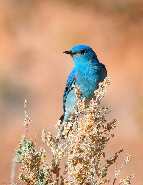 Wyoming Mountain Bluebird 2016