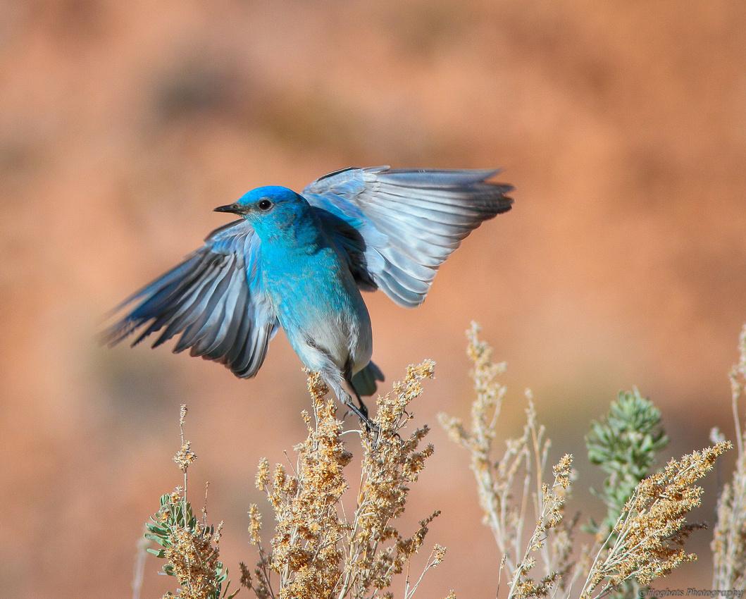 Wyoming Mountain Bluebird In-Flight