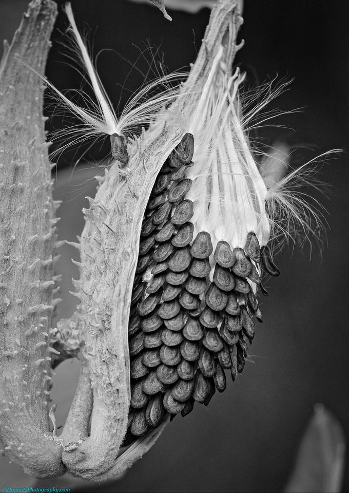 Milkweed, Wind River Canyon, Wyoming