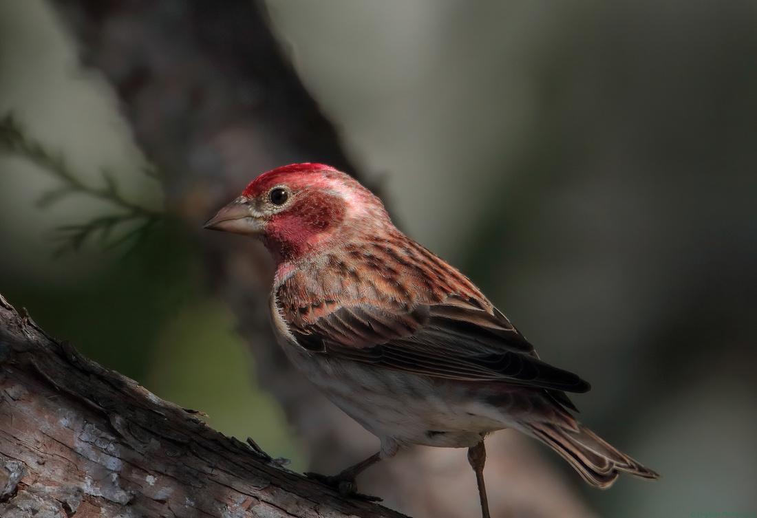Cassin's Finch male, artistic