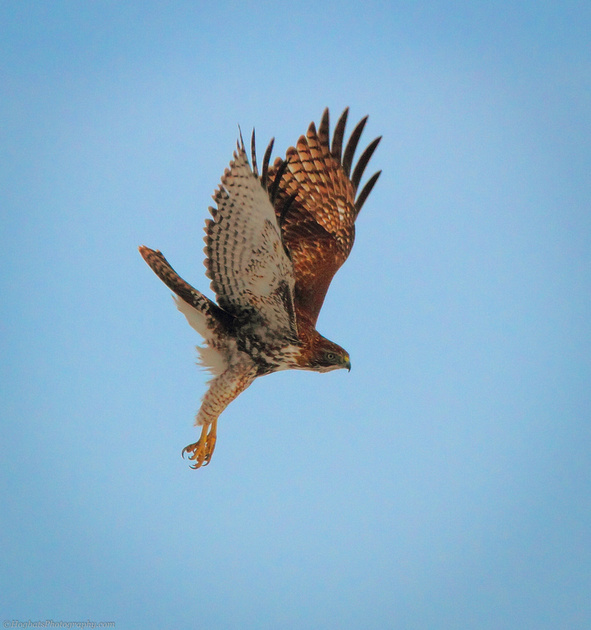Red-tailed Hawk In-Flight, Wind River Canyon, Wyoming