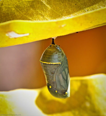 Wind River Canyon Monarch Butterfly Chrysalis