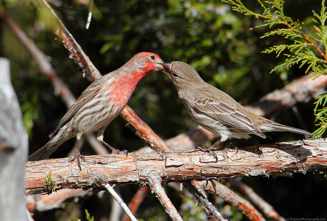 Two Cassin's Finches in Wyoming.