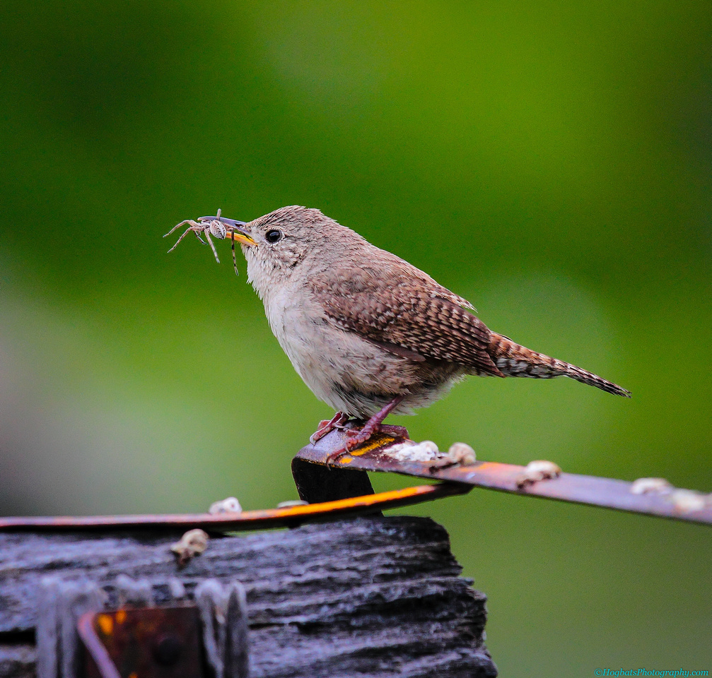 House Wren with Spider