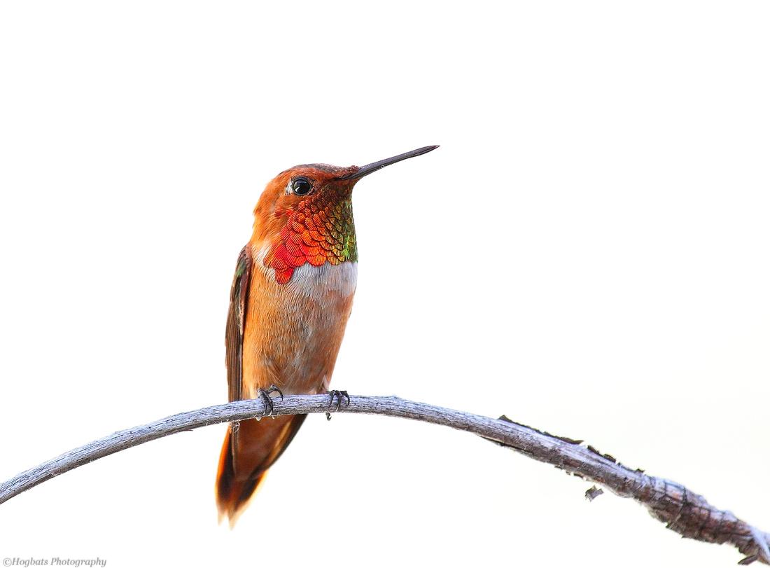 Wyoming Hummingbird, Rufous, Wind River Canyon