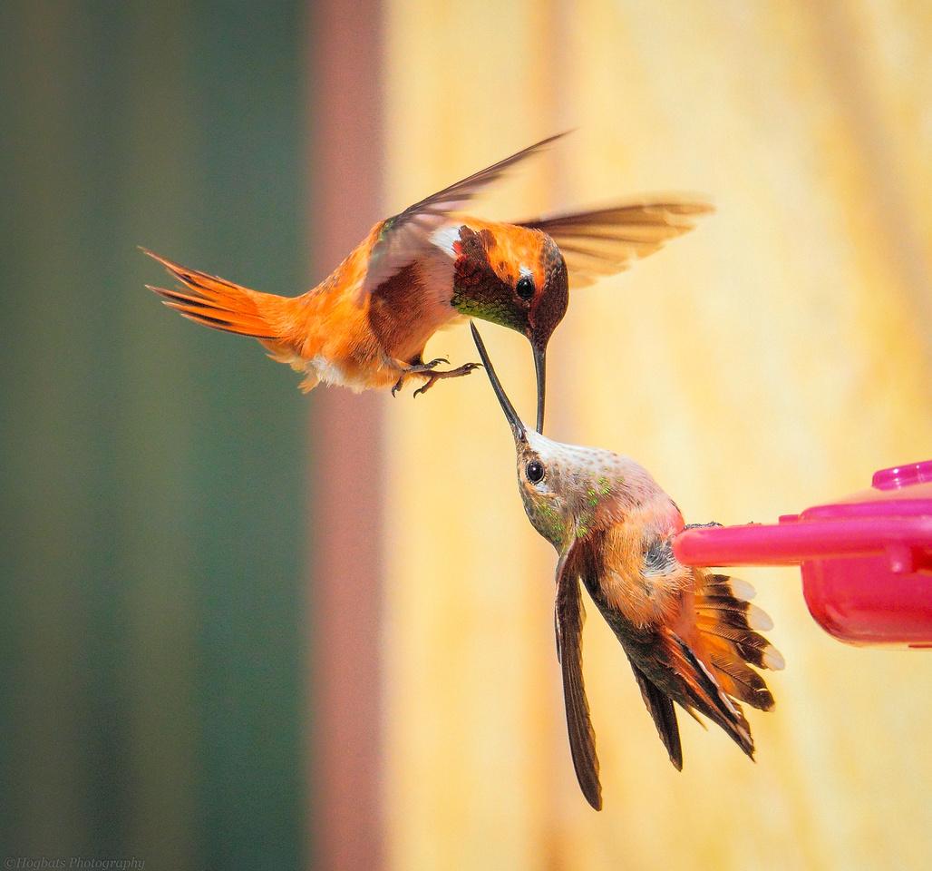 Wyoming Hummingbirds fighting in-flight