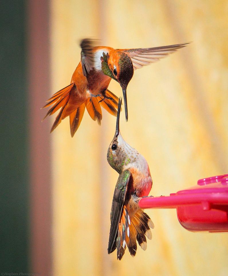 Hummingbirds fighting in-flight, Wyoming