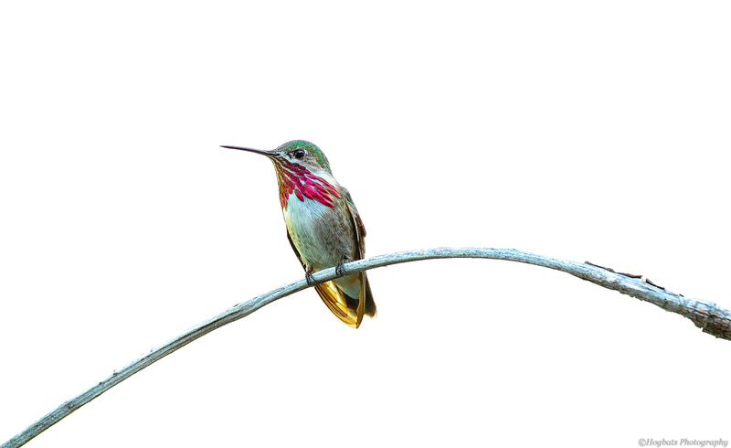 Calliope Hummingbird male portrait, Wyoming
