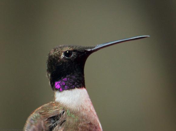 Black-chinned Hummingbird male violet-flash