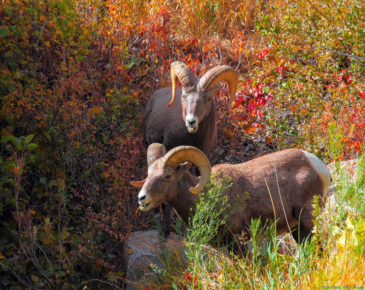 Two Bighorn Rams, Wyoming