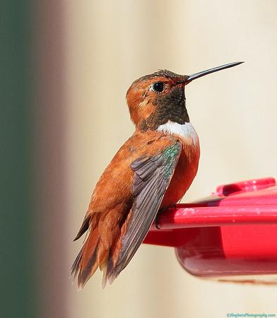 Rufous Hummingbird male, Wind River Canyon, Wyoming