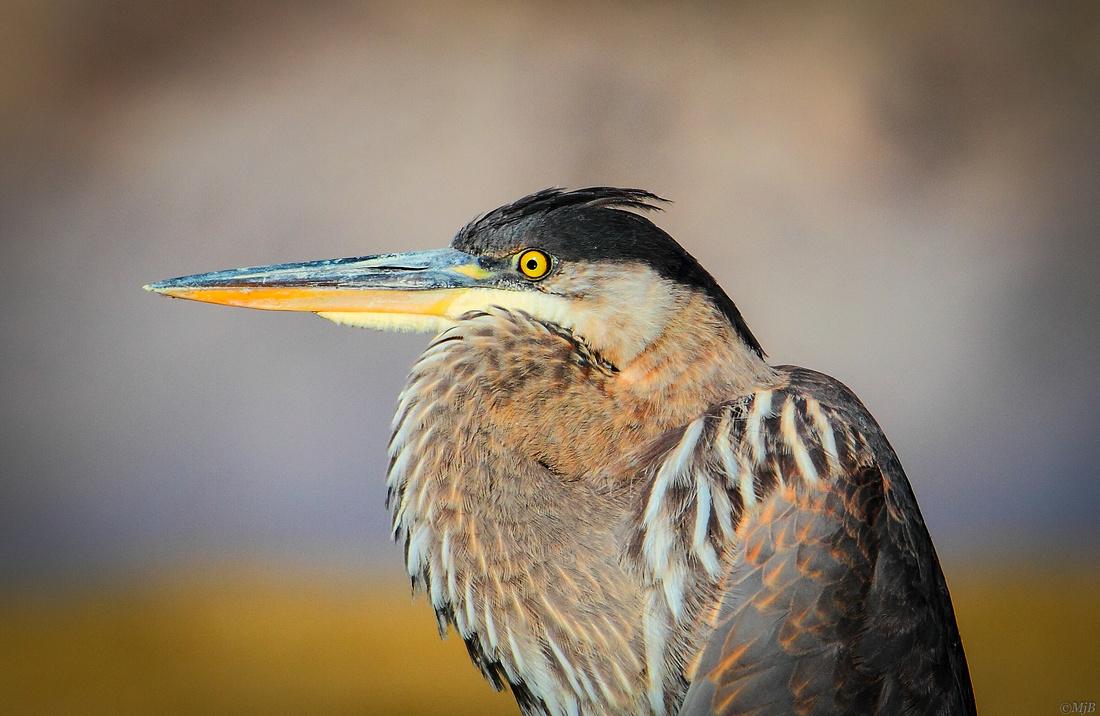 Great Blue Heron Portrait, Wyoming