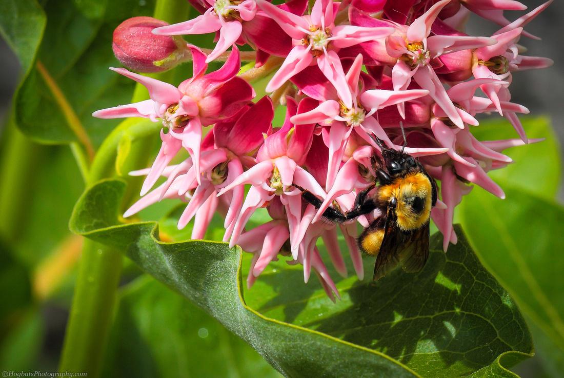 Showy Milkweed Flowers and Bumblebee in Wyoming.