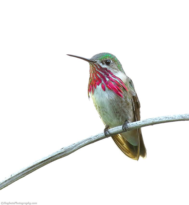 Calliope Hummingbird Photographic Portrait