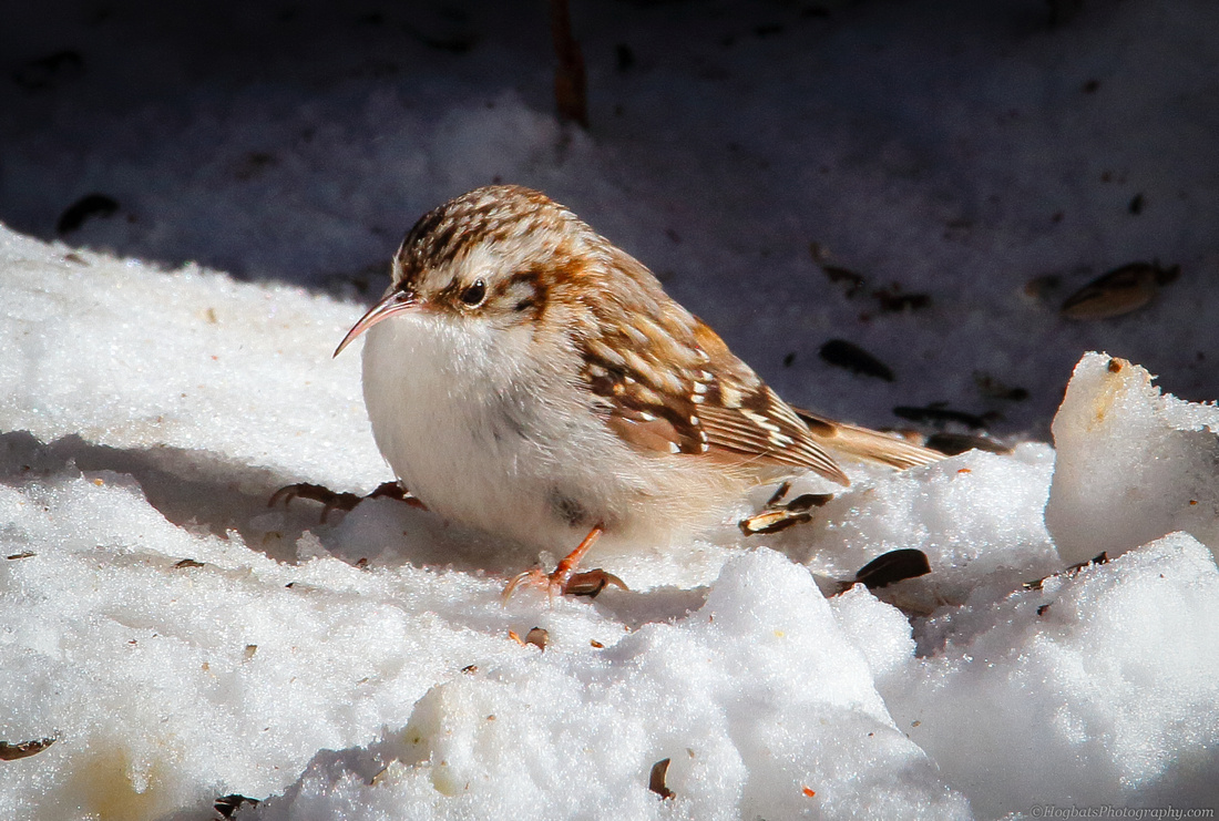 Brown Creeper photograph