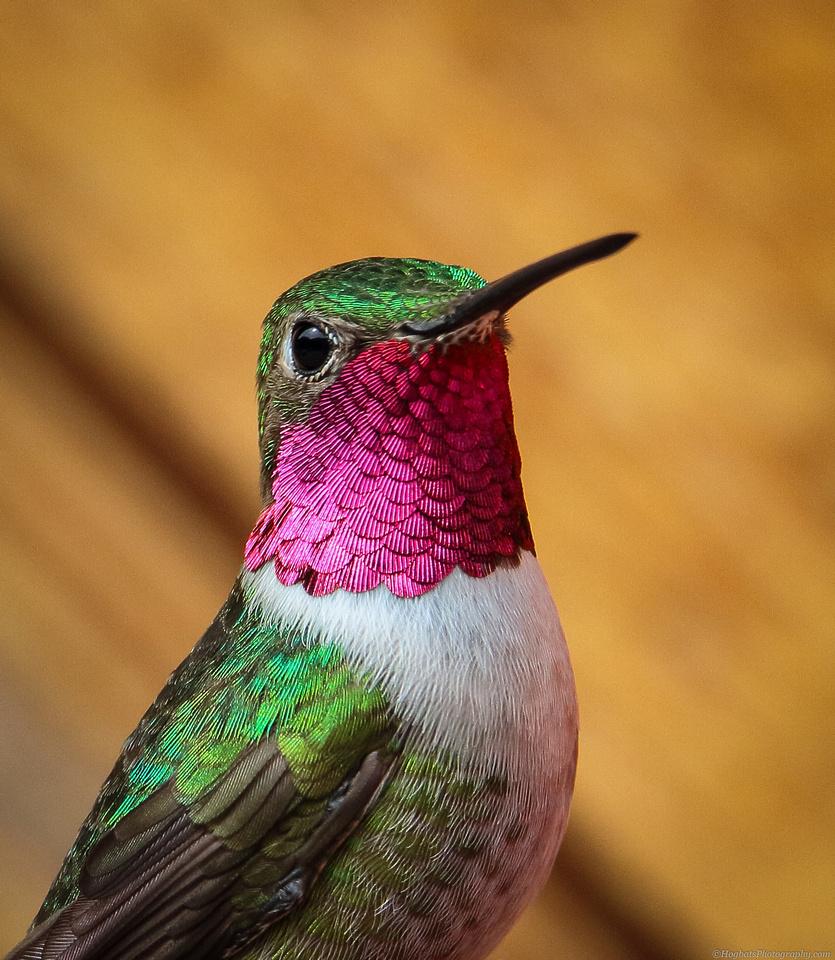 Broad-tailed Hummingbird male photo