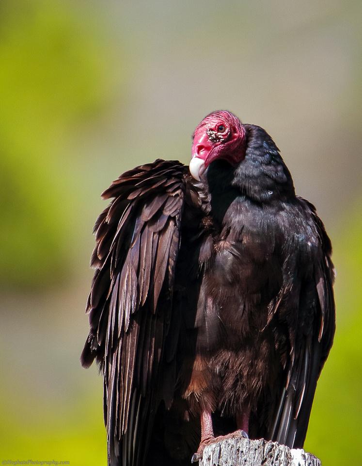 Wyoming Turkey Vulture Image