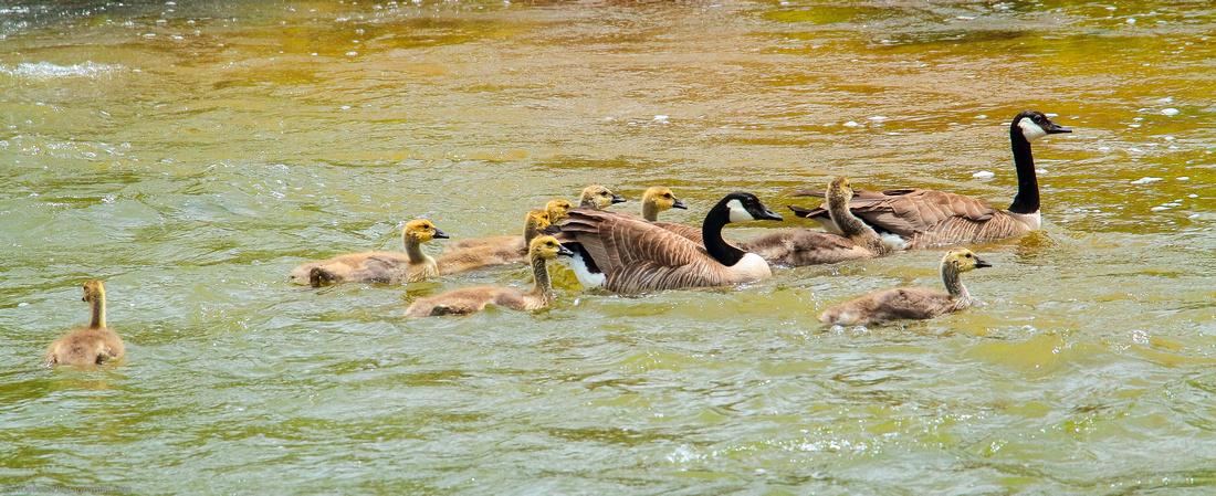 Canadian Geese and nine Goslings