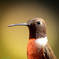 Black-chinned Hummingbird, Portrait, Wind River Canyon, Wyoming
