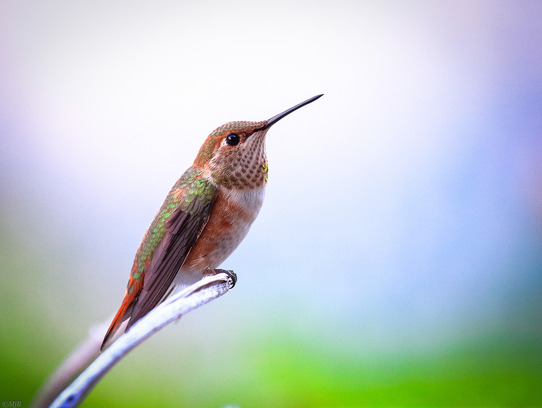 Wyoming Hummingbird baby born in the Wind River Canyon.