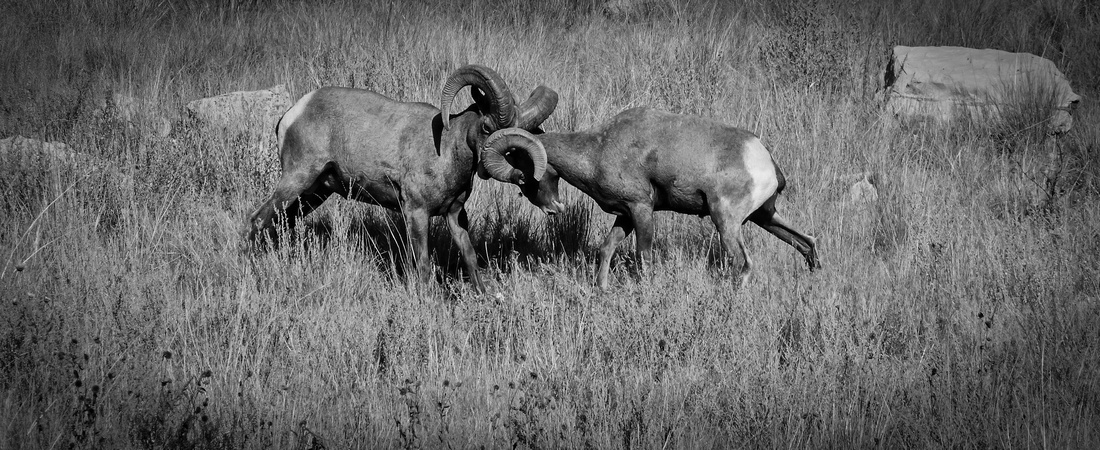 Bighorn Sheep Rams Monochrome