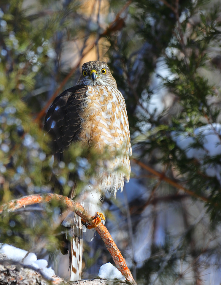 Cooper's Hawk in The Wind River Canyon