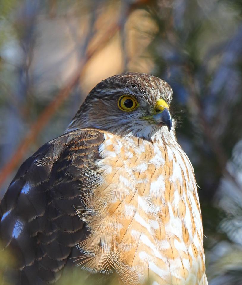 Cooper's Hawk in Wyoming