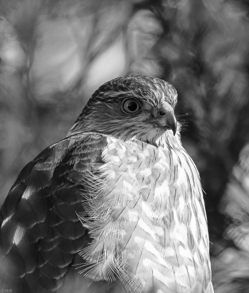 Cooper's Hawk in Monochrome