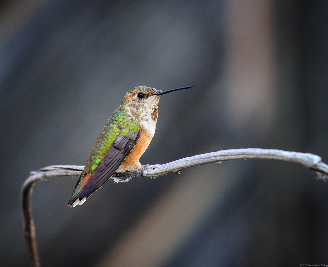 Wyoming Hummingbird Baby Rufous early in the morning.