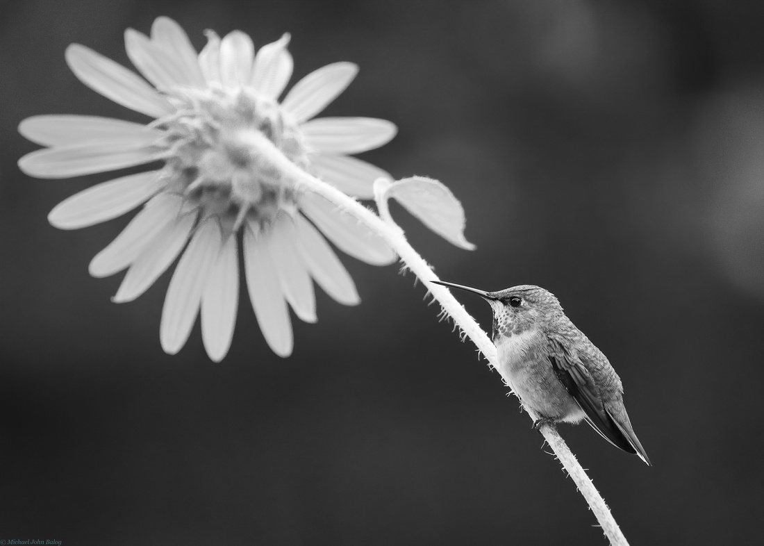 Black and white of a hummingbird and wildflower